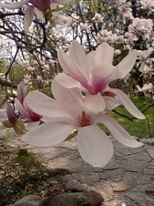 Blossoming Magnolia, 2013, Photo Credit: Jane H. Johann